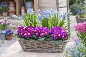 Korbkasten mit Primula acaulis (Primeln) und Scilla (Blausternchen)