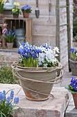 Iris reticulata (Netziris) und Scilla (Blausternchen)