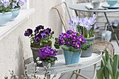 Töpfe mit Primula acaulis (Primeln), Viola wittrockiana