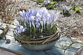 Crocus chrysanthus 'Blue Pearl' (Krokusse)