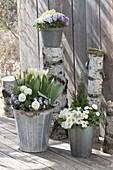 Fruehlingsterrasse mit Birken-Stämmen : Primula acaulis (Primeln