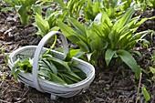 Bärlauch (Allium ursinum) im Beet, Korb mit frisch geerntem Bärlauch