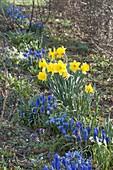 Blau-gelbes Fruehlingsbeet : Muscari armeniacum