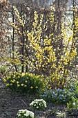 Forsythia (Goldgloeckchen), Narcissus 'Tete a Tete' (Narzissen)