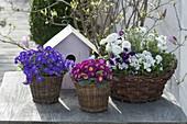 Frühling in Koerben : Aubrieta (Blaukissen), Primula acaulis (Primel),