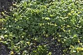 Scharbockskraut (Ficaria verna, Syn.: Ranunculus ficaria)