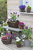 Fruehlingsterrasse mit Tulipa 'Purple Prince' 'Holland Beauty' (Tulpen)