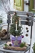 Picea glauca 'Conica' (Zuckerhutfichte) als Mini-Weihnachtsbaum