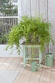Asparagus densiflorus 'Sprengeri' (Zierspargel)