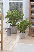 Crassula arborescens (Geldbaum, Pfennigbaum)in grauen Toepfen am Fenster