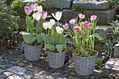 Tulipa 'Foxtrot' pink gefüllt, 'Holland Beauty' rosa, 'Calgary' weiss