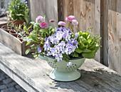Viola cornuta 'Floral Power Rose' (Hornveilchen), Salat (Lactuca