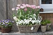 Tulipa 'Angelique' (Gefuellte Tulpen), Viola cornuta (Hornveilchen),