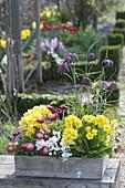 Frühling in Holzkisten : Fritillaria meleagris (Schachbrettblumen)