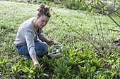 Frau erntet Bärlauch (Allium ursinum)