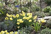 Narcissus 'St. Patrick's Day' (Narzissen) mit Lavendel (Lavandula)