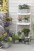 Frühlingsblumen und Kräuter in Zinktoepfen