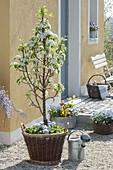 Birne 'Garden Pearl' (Pyrus communis) mit Viola cornuta (Hornveilchen)