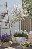 Prunus incisa 'February Pink' (Zierkirsche) Staemmchen , unterpflanzt