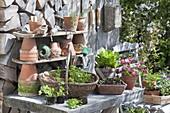 Pflanztisch mit Jungpflanzen von Petersilie (Petroselinum), Aussaatschale