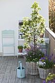 Birne 'Garden Pearl' (Pyrus communis) unterpflanzt mit Erysimum Poem