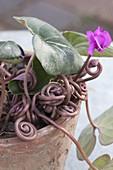 Cyclamen coum (Alpenveilchen), sobald Samen angesetzt sind