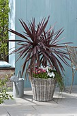 Cordyline australis 'Red Star' (Keulenlilie) in Korb mit Bellis
