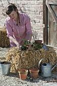 Erdbeeren auf Strohballen anbauen