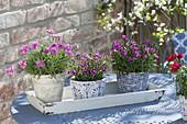 Dianthus caryophyllus 'Violett Wonder' 'Pink Kisses' 'Waikiki 'Pink'
