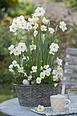 Narcissus 'Avalanche' (Narzissen) und Viola cornuta Beacon 'Yellow'