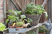 Gemüse-Jungpflanzen zum Auspflanzen