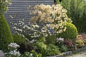 Rhododendron luteum 'Daviesii' (Gartenazalee)