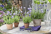 Lavender (Lavandula angustifolia) in small terracotta pots