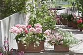 Terracottakaesten in pastelligen Farben : Pelargonium zonale Summer