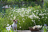 Blühende Margeritenwiese mit kleinem Sitzplatz