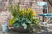 Betonschale mit Blattschmuck-Pflanzen : Hosta (Funkien), Heuchera
