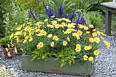 Grüner Holzkasten mit Argyranthemum frutescens 'Butterfly'