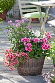 Pelargonium zonale Americana 'Rose Mega Splash' (Stehende Geranie)