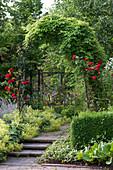 Akebia quinata (Klettergurke) und Rosa (rote Rosen) am Rosenbogen