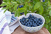 Freshly picked blueberry 'Berkeley' (Vaccinium corymbosum)