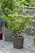 Himbeere 'Sanibelle' (Rubus idaeus) und Heidelbeere 'Berkeley'