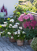 Hydrangea macrophylla 'The Bride' 'Tivoli Pink' (Hortensien)
