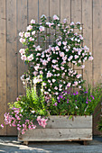 Rosa 'Rosenholm' im selbstgebauten Holzkasten als Sichtschutz