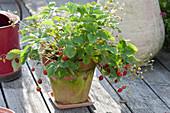 Erdbeere 'Walderdbeere Alpen rot' (Fragaria vesca) in Tontopf