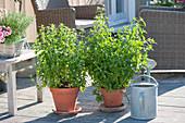 Pfefferminze (Mentha piperita) in Tontoepfen auf Terrasse