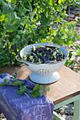 Emailliertes Sieb mit frisch gepflückten Kapuzinererbsen 'Blauschokkers'