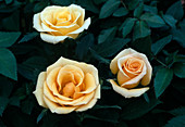 Rosa - HYBR. Amber Kordana BL.00.