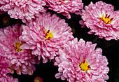 Chrysanthemum indicum'Anastasia' syn. 'Anja's Bouquet' / Herbstchrysanthemen