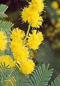 Acacia Baileyana (Cootamundra Akazie) gelb BL.00.00.