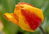 Tulipa 'Apeldoorn's Elite' / Tulpe gelb / rot BL.00.00.